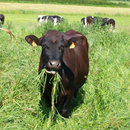 ferme-de-coubertin-vache